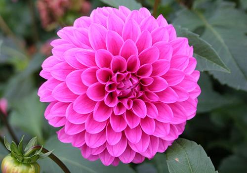 ダリアはキク科に属し、元々はメキシコの高原に自生していた花です。 18世紀にダリアの原種がメキシコからスペインに送られ、スウェーデンの植物学者アンドレアス・